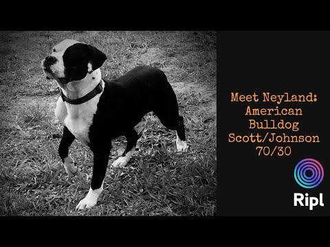 American Bulldog: Scott/Johnson - 70/30