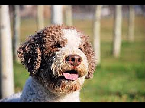 Lagotto Romagnolo -Raza de Perro / Dog Breed