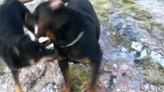 Rottweiler Playfighting A Husky Mix