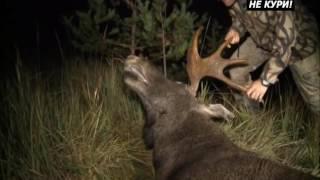 Охота на лося на вабу 2017