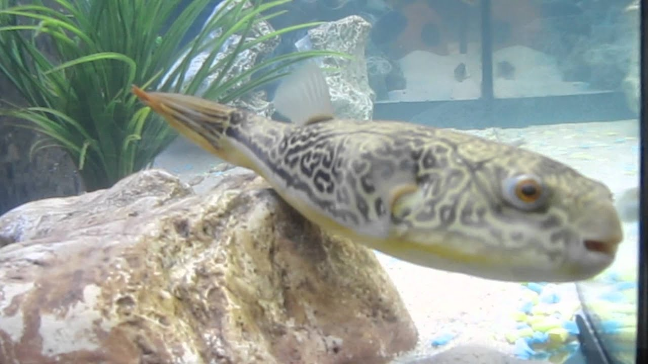 Tetraodon mbu puffer fish leon de kogel episode1 for Mbu puffer fish