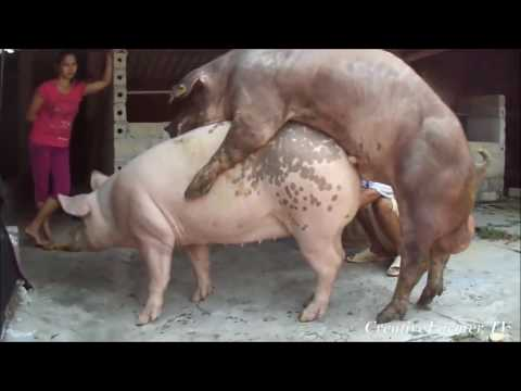 Ultra Aggressive Pig Mating ★ Life of Pigs P19✔