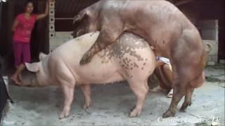 Ultra Aggressive Pig Mating ★ Life of Pigs P19✔