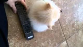 Tiny Micro Teacup White Pomeranian