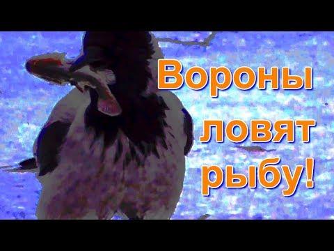 Вороны ловят рыбу!