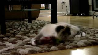 First Day with Angelica the Birman.