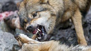 четки перекидные ( резьба по дереву обучение) голова волка 3 серия