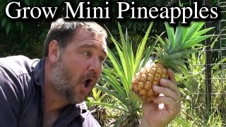 How to Grow Mini Pineapples From Tops - Extra Tips & NO rooting in Water Required!