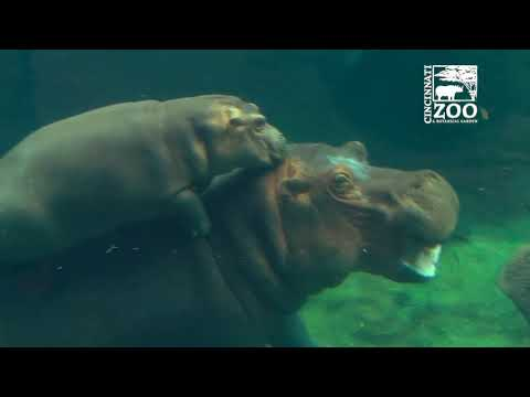 Timothy the hippo from San Antonio Zoo wants to be Fiona's boyfriend