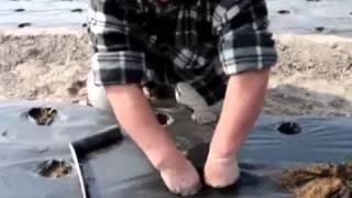 Способ посадки рассады клубники фриго(Способ посадки рассады клубники фриго вы увидите в этом видео Подробнее http://vk.com/dacha_ekaterinburg Но сначала неско..., 2014-05-24T07:42:31.000Z)