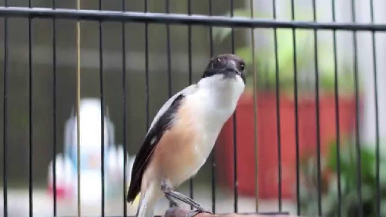 66+ Foto Gambar Burung Cendet HD Paling Bagus Gratis