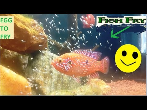 Jewel Cichlid |-From egg to free moving fry-| Watch Them Grow|-|video|