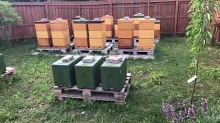 عالم النحل ,الملكة تلقحت داخل القفص وهي فكرة الاستاذ ميزر سعيد العمارين
