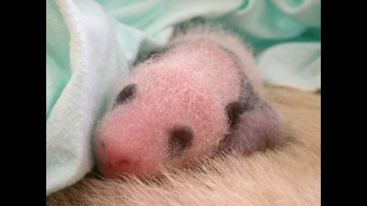 penis panda