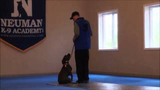 Roman (pitbull Terrier) Dog Training Boot Camp Video