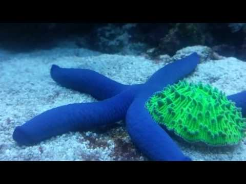 Blue Linckia Sea Star Fish
