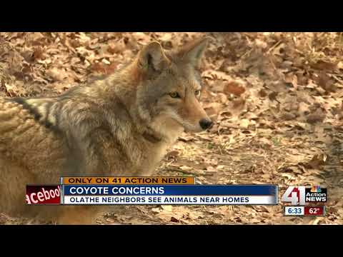 As coyotes enter breeding season, expect to see them in urban areas