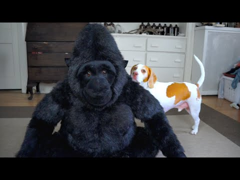 Dog Falls in Love with Stuffed Gorilla: Cute Dog Maymo