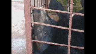 Vile farming for bear bile