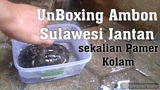 UnBoxing Kura Kura Ambon Sulawesi jantan dan pamer kolaamm..