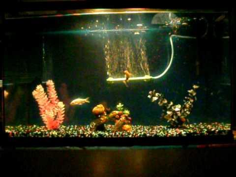 My 29 gallon koi shubunkin aquarium youtube for Koi im aquarium