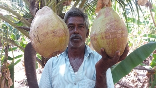 Cooking Farm Fresh Coconut Rice in Our Farm - Our Favorite Village Dish