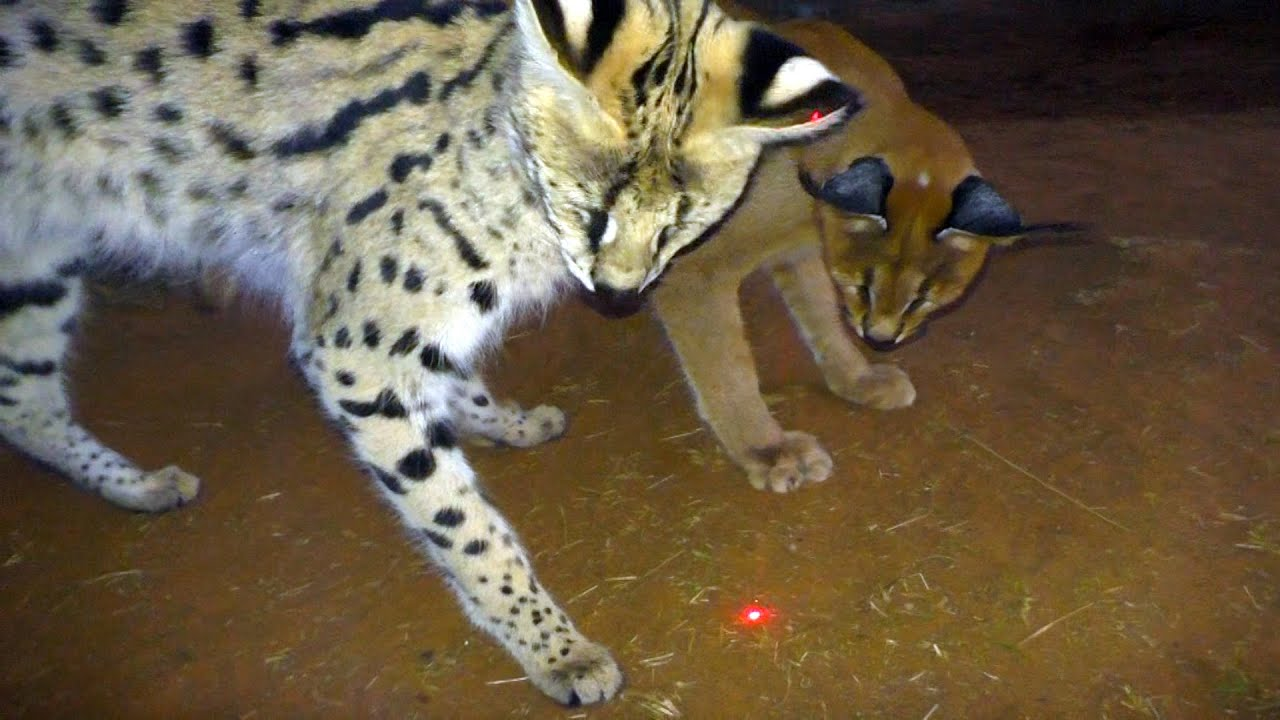 Which African BIG U0026 Small Cats Play With Laser Light Toys? | Cheetah  Leopard Lion Caracal Serval