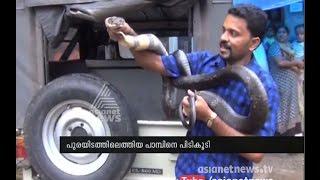 King - Cobra caught in Kothamangalam