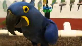 huge baby blue hyacinth macaw parrot for sale 8722285224