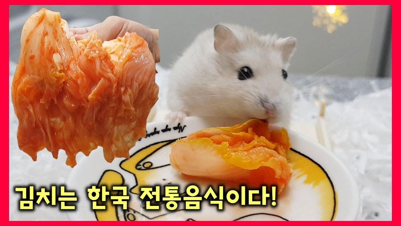 햄스터한테 김치 먹이고 반응보기 (학대영상 아님)  [햄집사tv] hamster kimchi mukbang