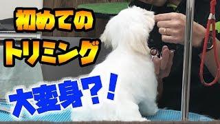 トリミング#マルチーズ仔犬#大変身 ご視聴ありがとうございました! 【...