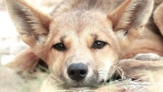 Dingo - My animal friends - Animals Documentary -Kids educational Videos