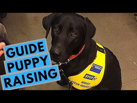 What is it Like to be a Guide Dog Puppy Raiser?