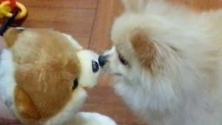 My Buddy Boo - Hong Kong Lion King Cutie Dog Pomeranian 仔仔 松鼠狗