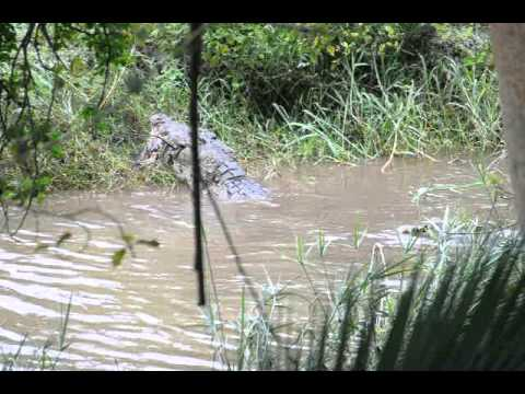 Giant croc eating warthog at Mbuluzi game reserve in Swaziland