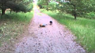 Staffordshire Bull Terrier & Yorkshire Terrier