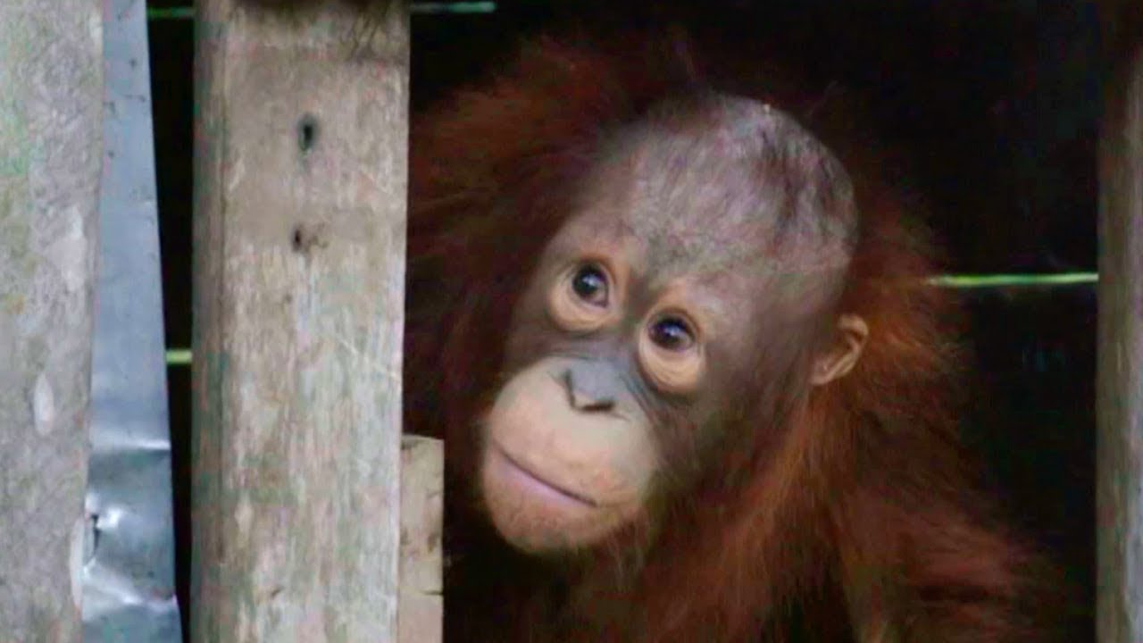 Orangutan Rescued after Two Years in a Cage | Red Ape: Saving The Orangutan | Earth Unplugged