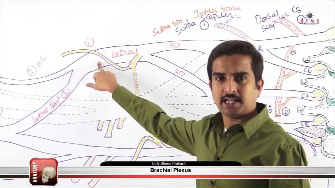 Brachial Plexus Part - 3 ( gims medical video lectures ) - YouTube