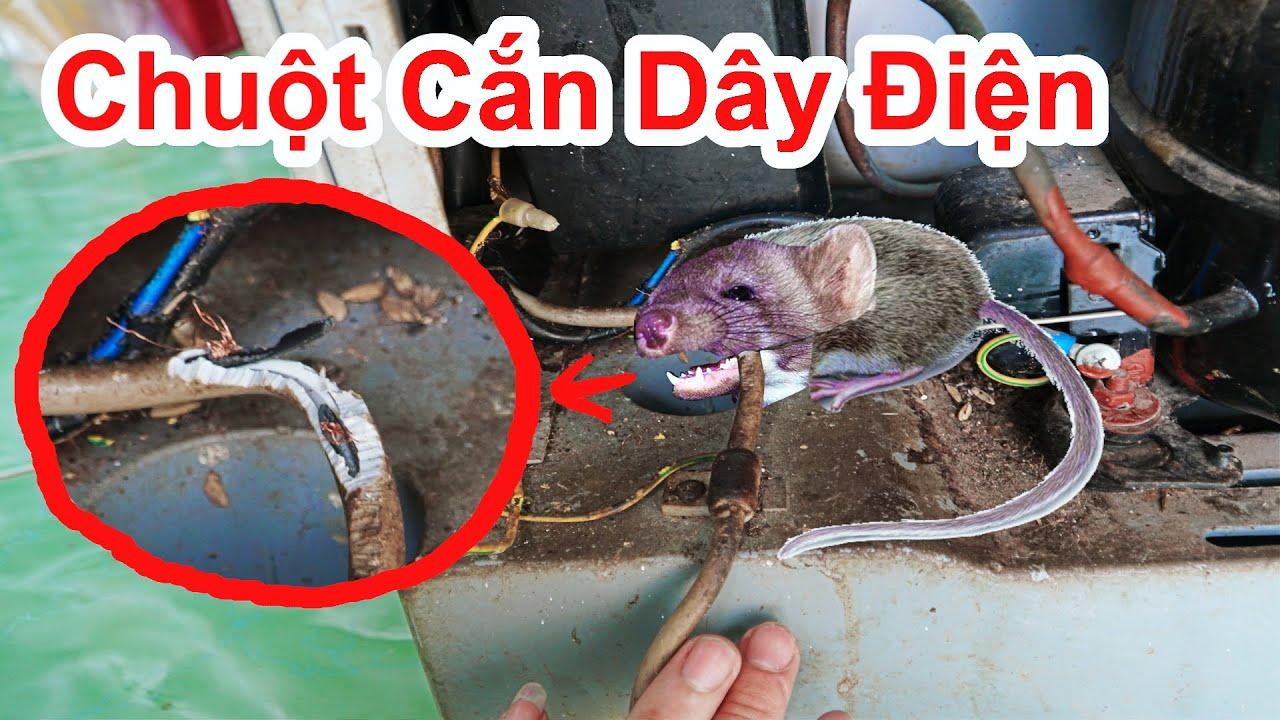 Cách Diệt Sạch Đám Chuột Phá Hoại Cắn Dây Điện = Cách Đơn Giản / Mẹo Đuổi Chuột Hiệu Quả. mouse trap