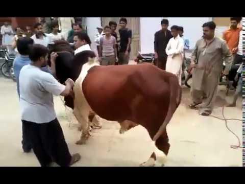 Bail 2 Baar Rassi Tor Ker Khara Ho Gaya Qurbani Ke Doran | Beautiful Bull Stands 3 Times in Qurbani