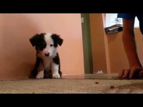 Border Collie Puppy performing tricks @ 8 weeks