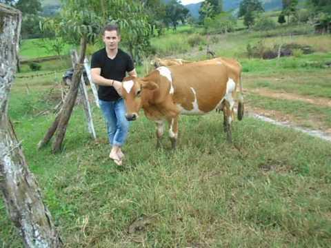 Como tirar o berne de uma vaca?