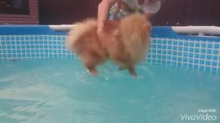 Шпиц первые  уроки плавания.