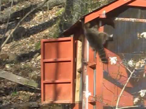 Raccoon And The Chicken Coop Youtube