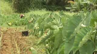 GMO coffee, GMO taro banned on Hawaii Island (Sept. 2008)
