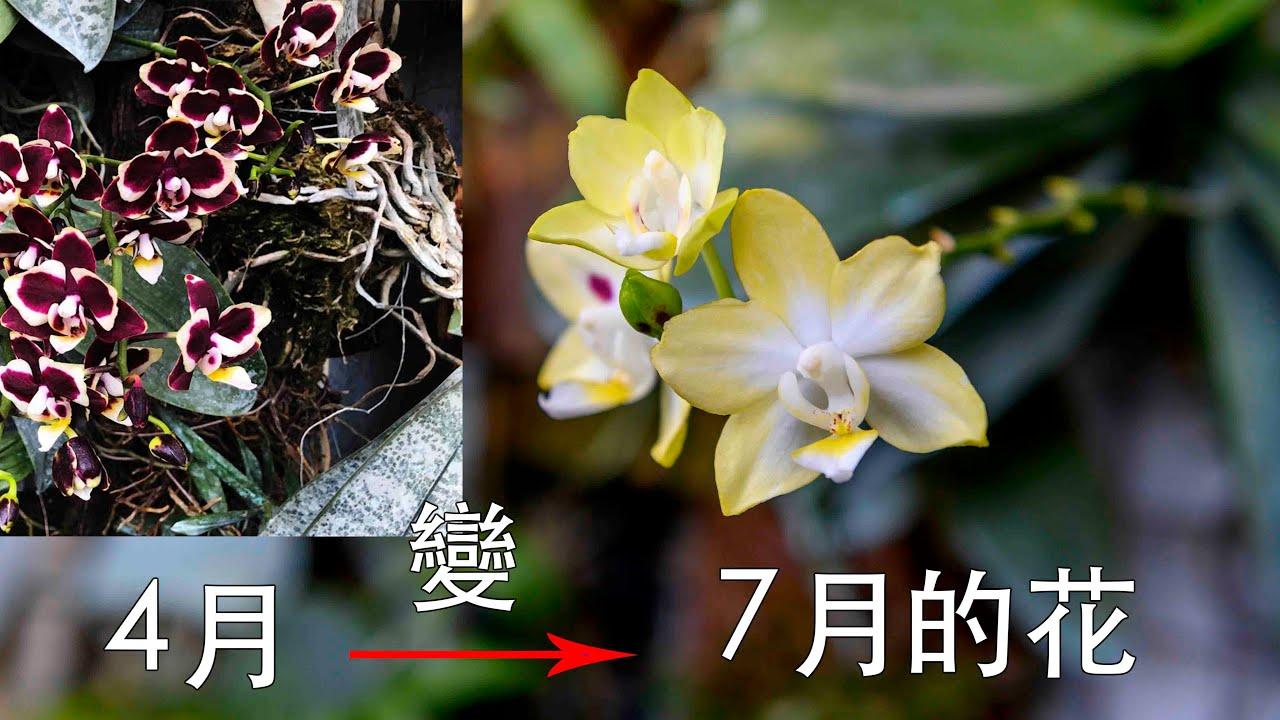 特殊蘭花 第二朵花來了喔!! 夏天完全 變成另一顆花!! 春天熊貓 夏天黃花 特殊的蝴蝶蘭