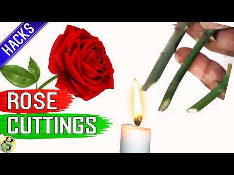 10 SECRET TIPS TO GROW ROSE FROM CUTTINGS:  Hacks // How to Grow Rose Plant from Cuttings