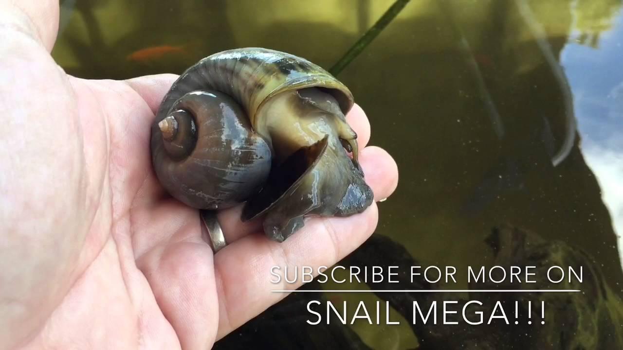 Mega Snail   - Apple Snail
