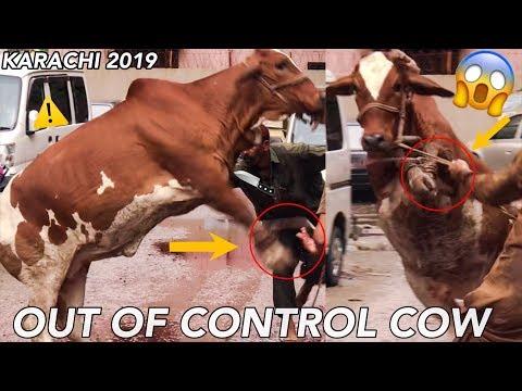 most-dangerous-cow-vs-anari-qasai-🔪-eid-ul-adha-qurbani-in-karachi!-out-of-control-cow-slaughtering