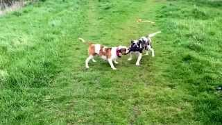Alapaha blue blood bulldogs playing and tugging a bite pad in slow motion!